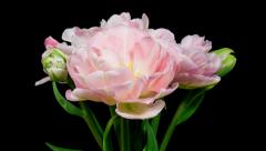Bunch of light pink double peony tulip flowers blooming timelapse Stock Footage