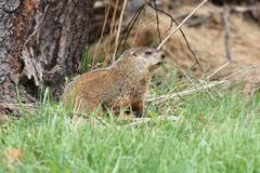 groundhog (marmota monax) - stock photo