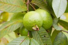 Guava on tree in garden Stock Photos