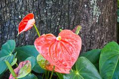 Flamingo flower,anthurium andraeanum Stock Photos