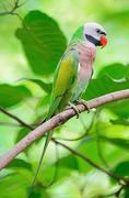 Male red-breasted parakeet Stock Photos