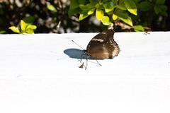 black butterfly - stock photo