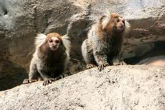 white-headed marmosets sitting on a rock - stock photo