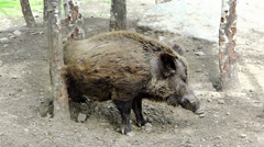 Wild boar rubbing its back against a tree Stock Footage
