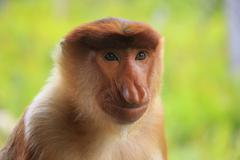 portrait of proboscis monkey, borneo, malaysia - stock photo