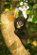 Young spectacled langur sitting in a tree, ang thong national marine park, th Stock Photos