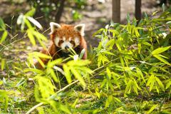 young lesser panda - stock photo