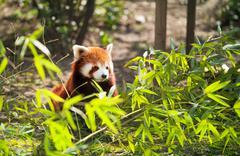 lesser panda - stock photo