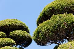 bonsai tree in japan - stock photo