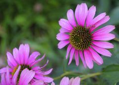 Purple Echinacea Stock Photos