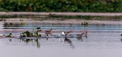Pikku Grebes, Tachybaptus ruficollis, linnut, lentää veden yläpuolella Kuvituskuvat