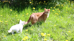 White kitten with his mother cat Stock Footage