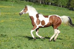 Gorgeous paint horse mare running on pasturage Stock Photos