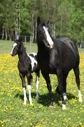 beautiful mare with little foal on spring pasturage - stock photo