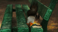 Squirrel in the spring forest. St. Petersburg. Russia Stock Footage