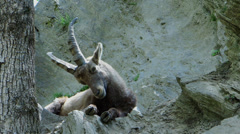 Young ibex being tormented by flies Stock Footage