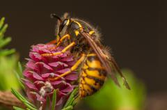 Larch flower and wasp - stock photo