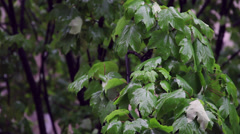 Spring/summer rain over maple tree, bad weather, windy day Stock Footage