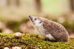 eastern european hedgehog - stock photo