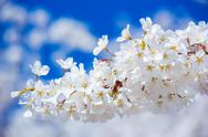 Stock Photo of sakura cherry blossoms