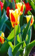 spring yellow-red tulips close-up. - stock photo