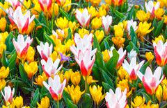 Spring yellow crocuses and white-red tulips (macro) Stock Photos