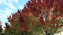 Bradford Pear Trees in the Autumn - stock footage