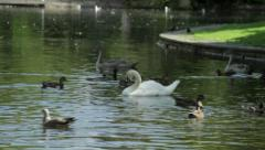 Swans and ducks in the lake, close up - stock footage