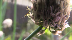 Baby Preying Mantis, very close ,green Stock Footage