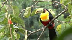 Toucan at the nature 02 Stock Footage
