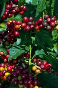 Coffee Berries ready for picking Stock Photos