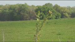 Yellow wagtail on the bush Stock Footage