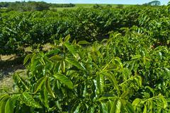 Healthy leaves on Mundo Novo coffee tree Stock Photos