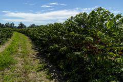 Row of Mundo Novo coffee trees Stock Photos