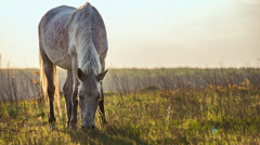 Horse feeding on grass on a hot summer sunset Stock Footage