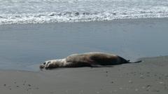 A Sea Lion Dead On A Beach Stock Footage