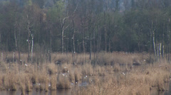 Birds flying above swamp Stock Footage