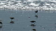Sandpipers Whimbrels and Dunlin and Other Shorebirds On a Beach - stock footage