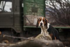 Country beagle dog Stock Photos