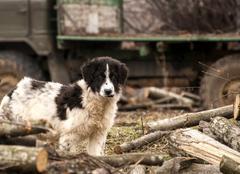 Young sheepdog Stock Photos