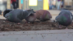 Pigeons fighting over food in a manger. St. Petersburg. Russia Stock Footage