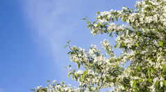 White flowers - tree blossom in spring Stock Footage