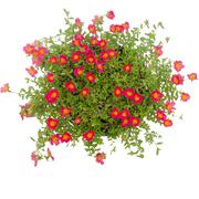 Portulaca flower in pot  isolated on white background Stock Photos