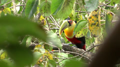 Toucan at the nature HD Stock Footage