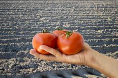 farmer showing some tomatoes - stock photo