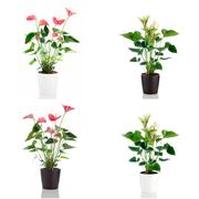 anthedesia anthurium - stock photo