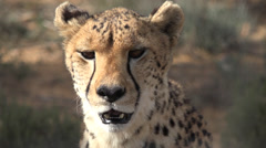 Close up of Cheetah panting Stock Footage