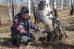 gathering birch sap - stock photo