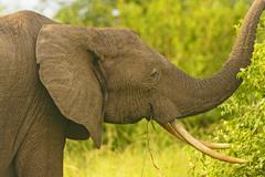 african elephant with large tusks - stock photo