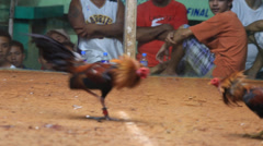 Traditional cockfighting in Legazpi, Philippines Stock Footage